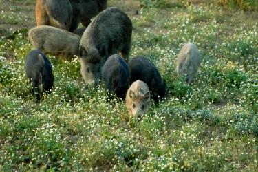 Как ядат прасетата?