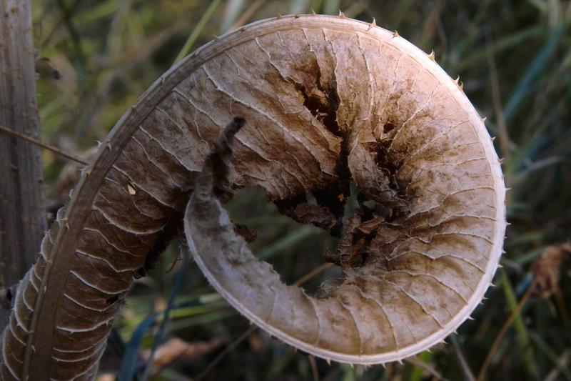 Магарешкия бодил завива листата си, за да покаже че е пръв по красота в полето