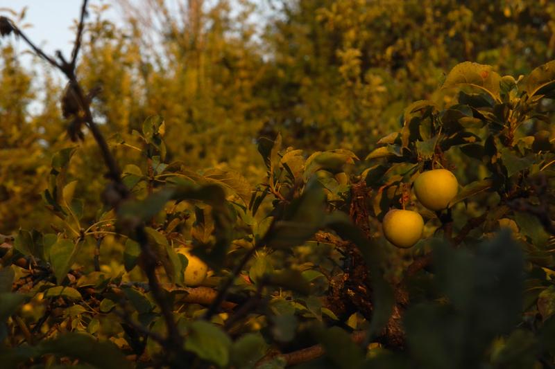 Ябълковите дръвчета наливат плод.