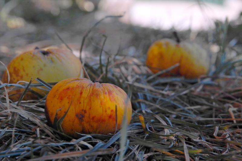 Изпопздалите ябълки чакат да бъдат събрани от земята
